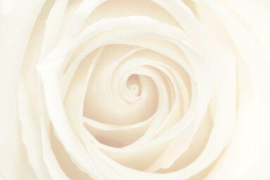 Роза Lancôme: что важно знать о серии Absolue