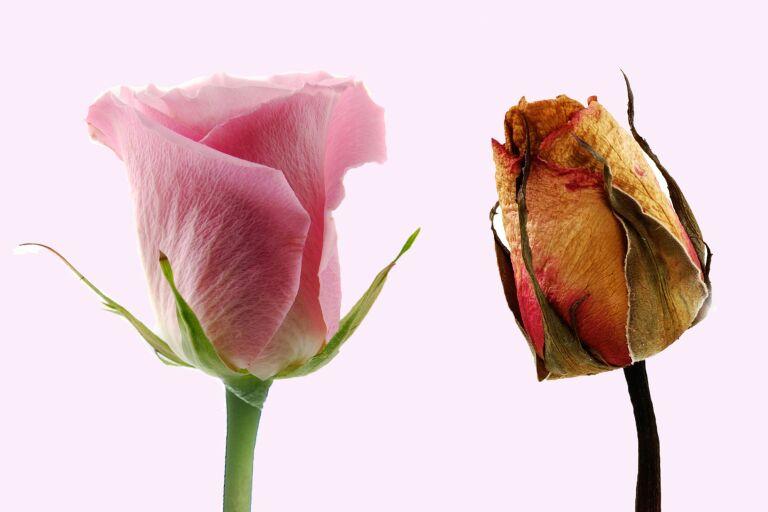 Две розы - молодая и свежая и увядшая