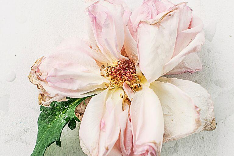 Жухлый цветок шиповника — какой крем выбрать, если шелушится кожа на лице