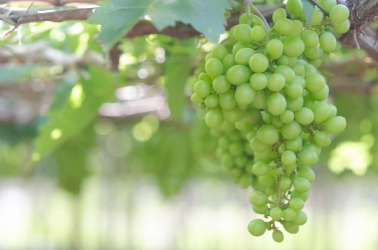 Натуральная косметика Garnier: виноград из Италии