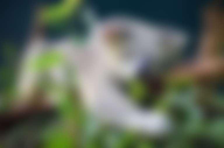 Коала на эвкалиптовом дереве