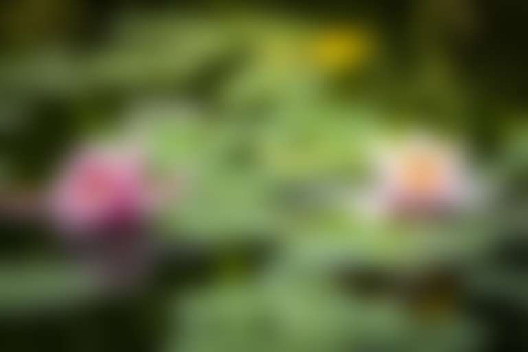 цветок лотоса в живой природе