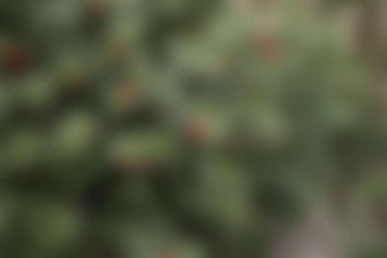 куст иглицы с зелеными листьями и красными ягодами, которые используют в косметике