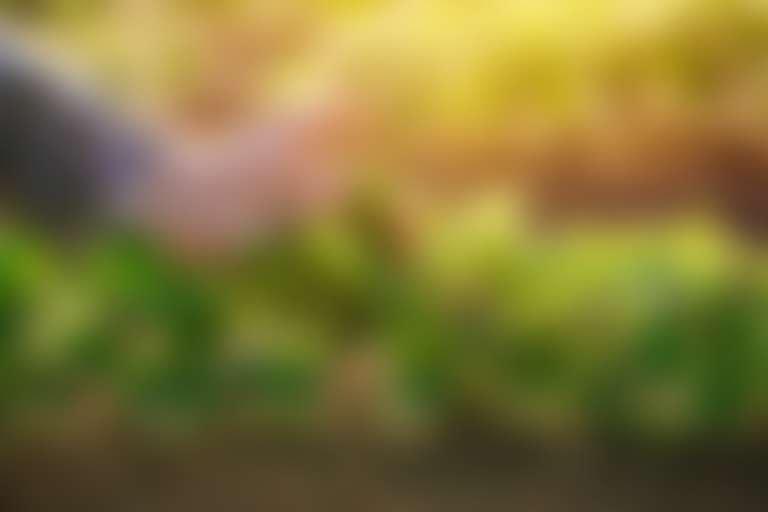 рука касается молодых зеленых ростков сои