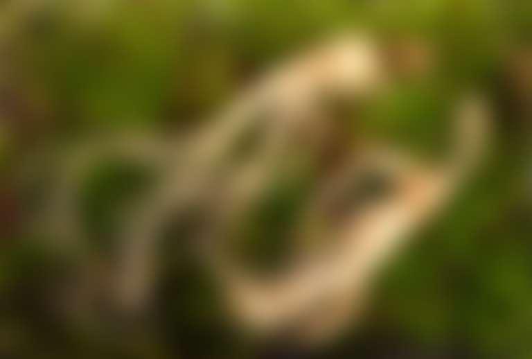 Корни женьшеня на траве, похожие на человечков