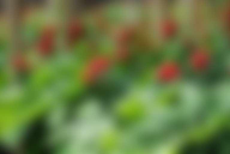 Цветущий женьшень в лесу