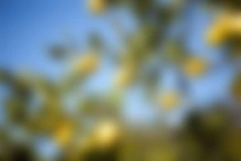 Лимонное дерево (лимон в косметике)